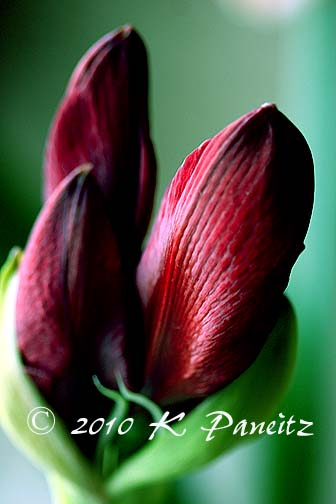 Amaryllis 'Red Pearl' buds