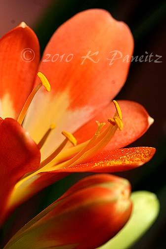 Clivia blooms3
