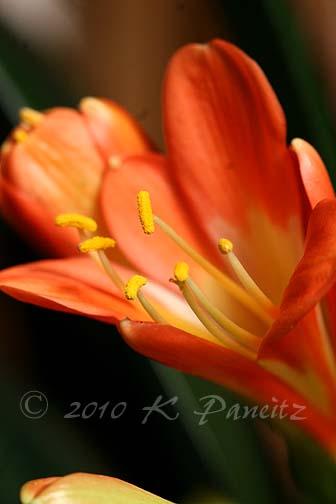 Clivia blooms4