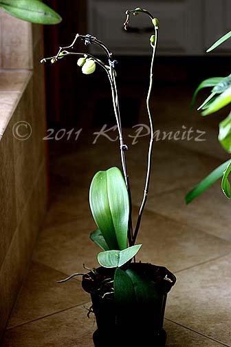 Phal Orchid bud stalks1