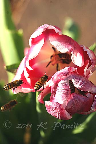 Jan bees on tulips