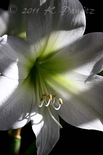 Amaryllis 'Green Goddess'