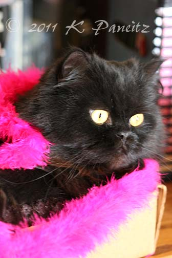 Regis in a pink boa
