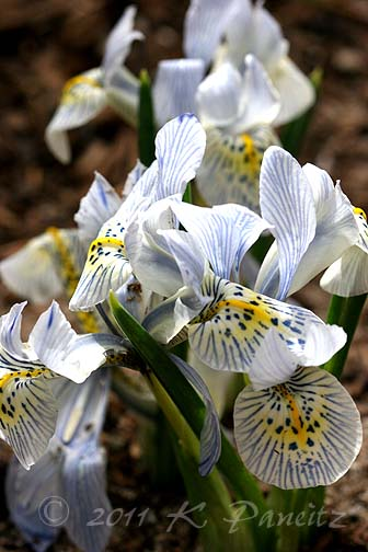 Dwarf Iris 'Katharine Hodgkin1'