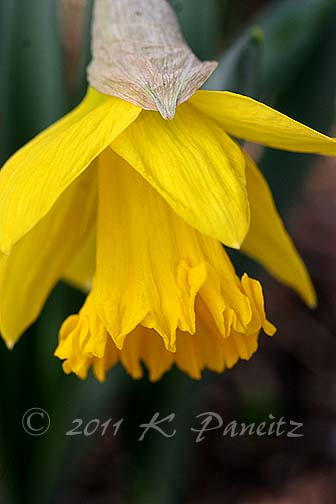 Narcissi 'King Alfred1'