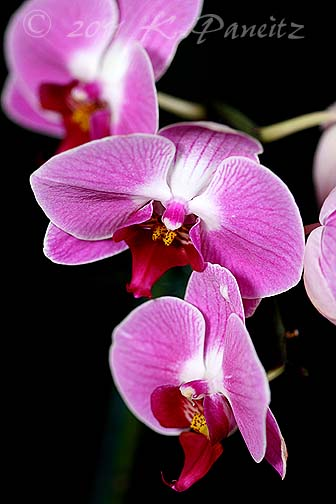 Phal pink orchid2