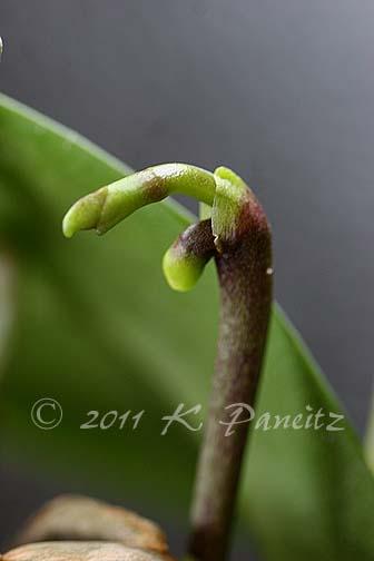 Phal double bloom stalk
