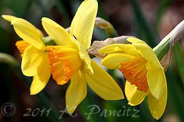 Narcissi 'Fortune'