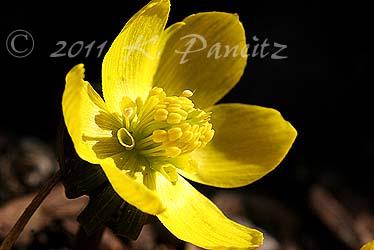 Eranthis hyemalis blooms