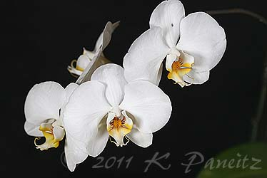Phal Orchid5