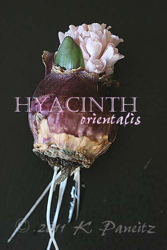 Forced hyacinth bulb