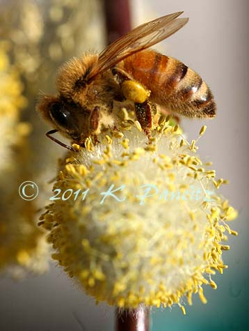Weeping pussy willow & bee1