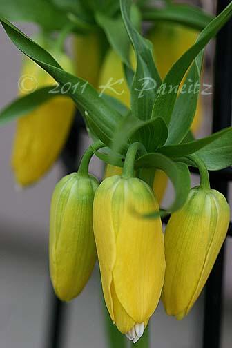 Fritillaria Imperialis 'Lutea' buds