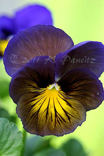 Pansy 'Blue Butterfly'