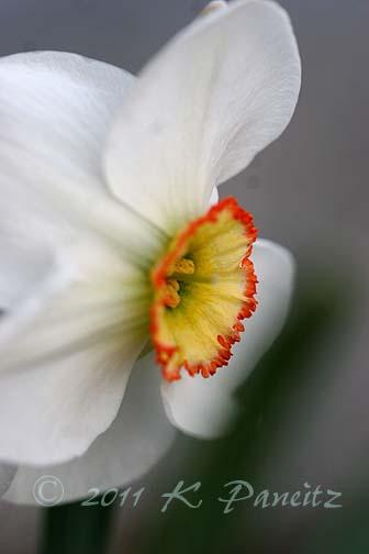 Narcissi 'Dreamlight'