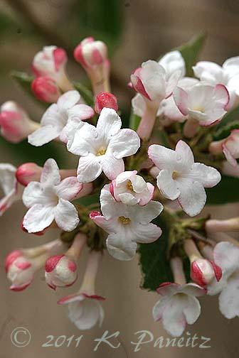 Viburnum lentago blooms