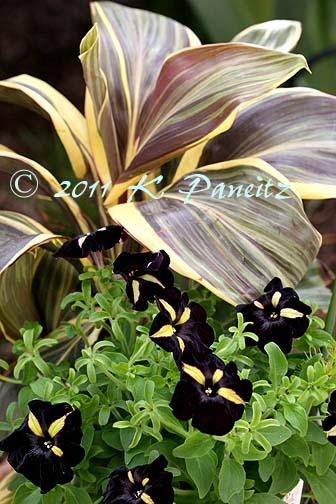 'Phantom' Petunia & 'Mocha Latte' Cordyline