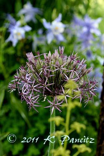 Allium 'christophii2'