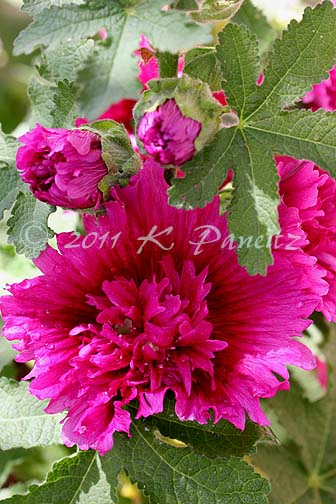 Hollyhock 'Spring Celebrities Purple'