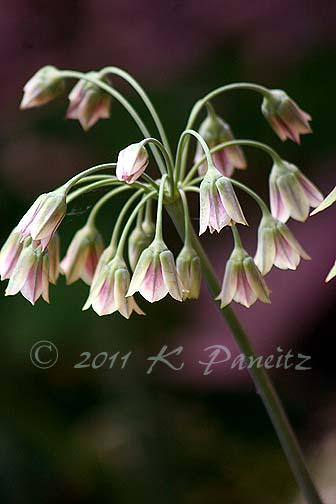 Allium bulgaricum1