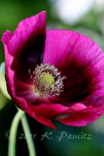 'Lauren's Grape' Poppy