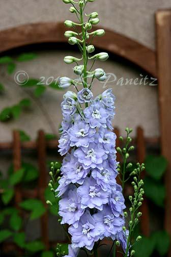 Delphinium lavender