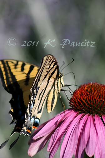 Western Tiger Swallowtail on Coneflower1