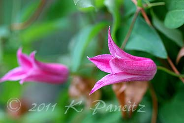 Clematis Texensis 'Duchess of Albany'