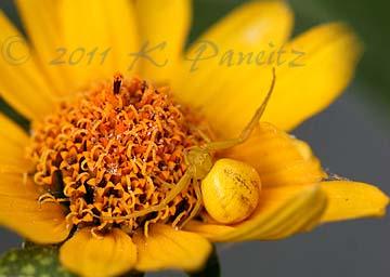 Crab Spider on Heliopsis 'Loraine Sunshine'