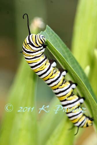 Monarch Caterpillar1
