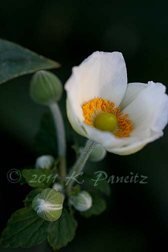 Anemone buds