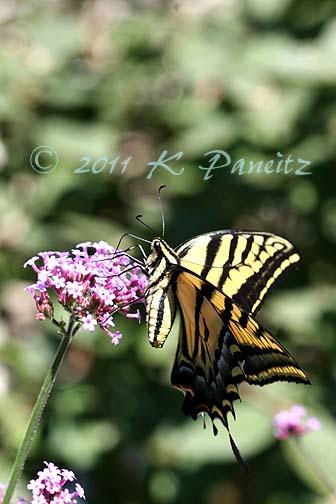 Western Tiger Swallowtail on Verbena
