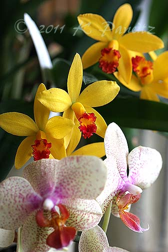 Phal yellow spotted & cattleya1
