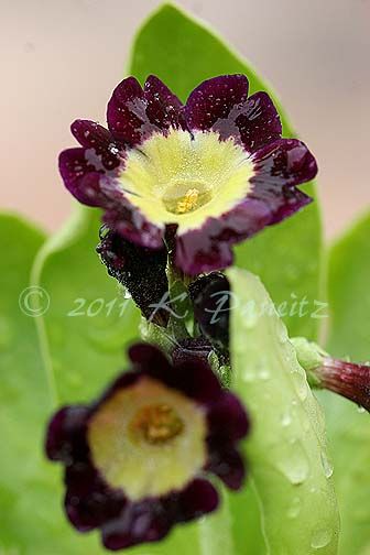 Primula 'pubescens'