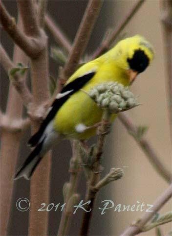 Goldfinch eating viburnum buds