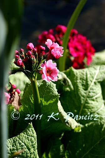 Primula japonica 'Miller's Crimson1'