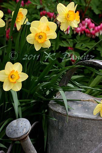 Watering can & daffs