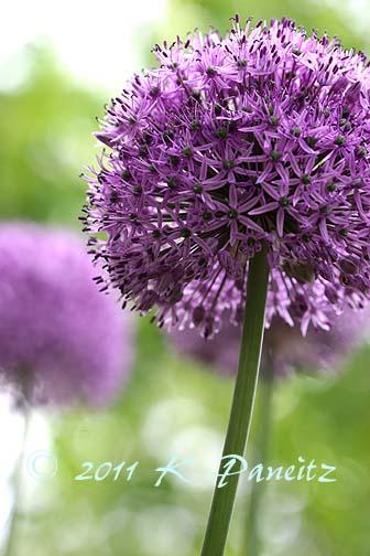 Allium blooms1