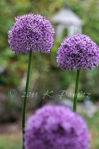 Allium blooms2