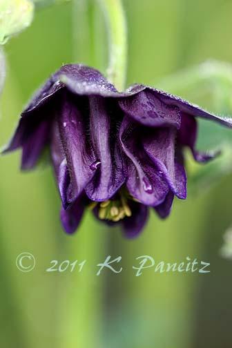 Aquilegia Purple