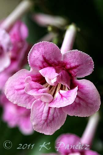 Streptocarpus 'Double Pink1'