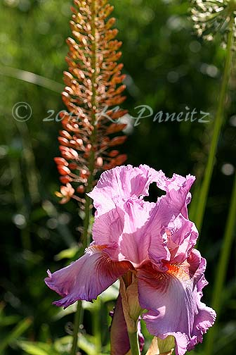 Pink Iris & Emerurus 'Cleopatra'