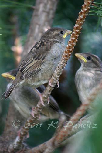 Baby English Sparrows