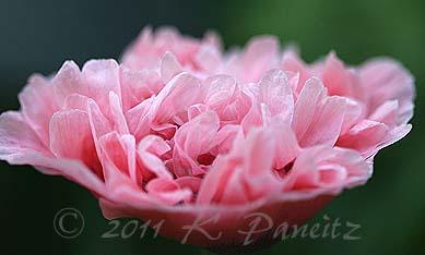 Pink Peony Poppy1