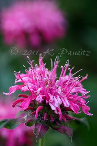 Monarda pink