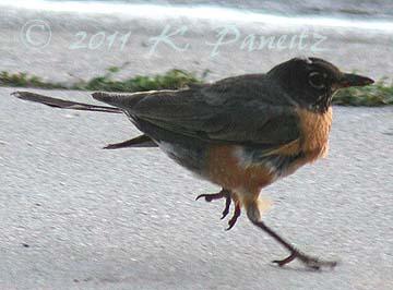 Injured Robin1