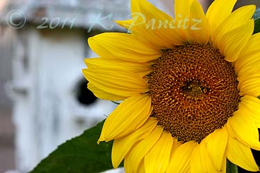Sunflower & birdhouse1