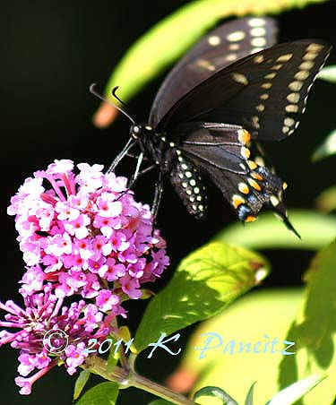 Black Swallowtail on Buddleia3
