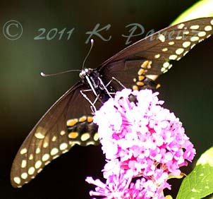 Black Swallowtail on Buddleia2