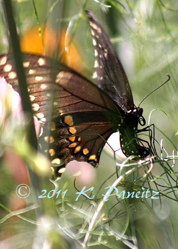 Black Swallowtail on Bronze Fennel